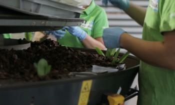 Plantado mecanizado de Phalaenopsis
