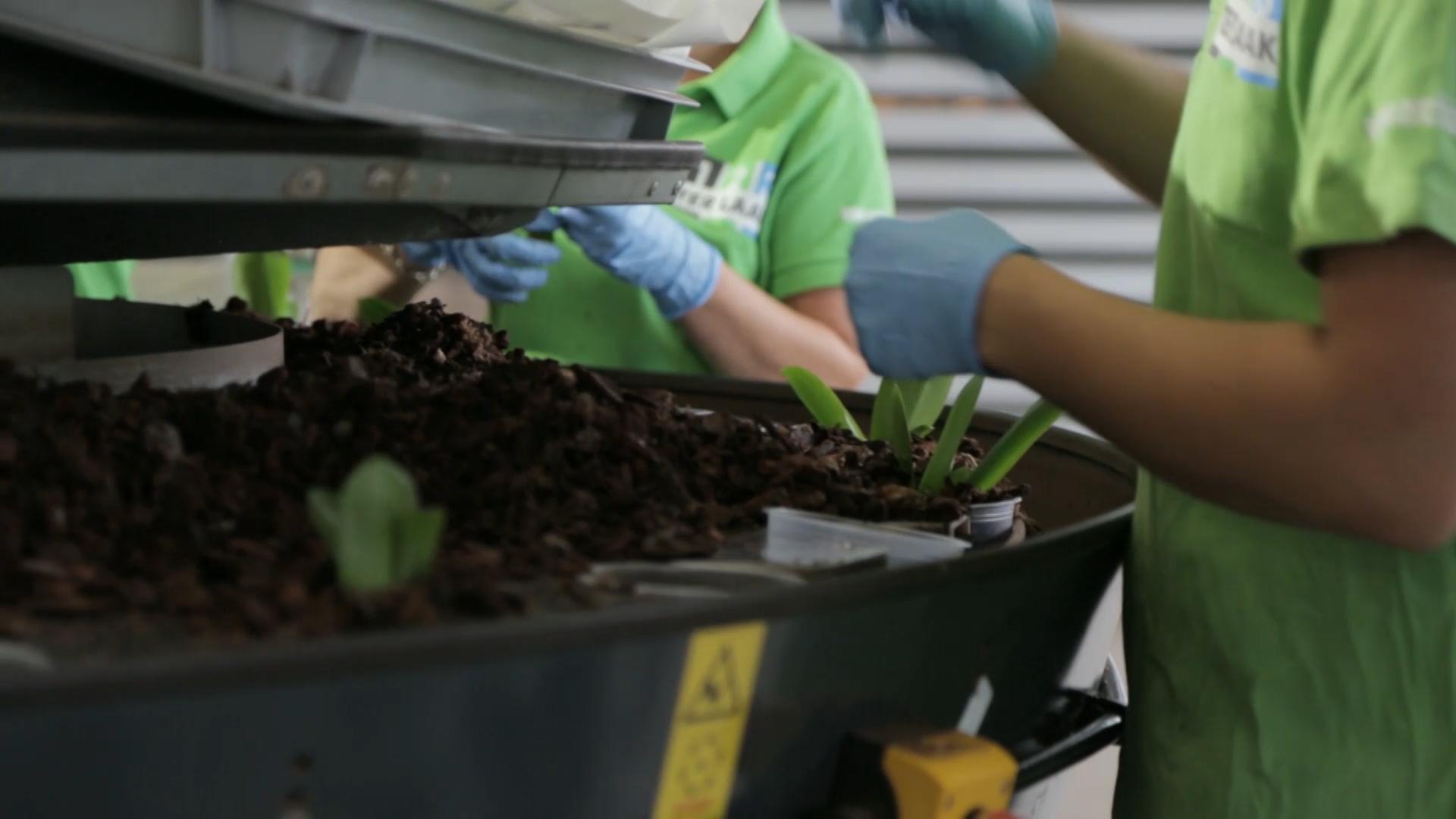 Mechanical potting of Phalaenopsis