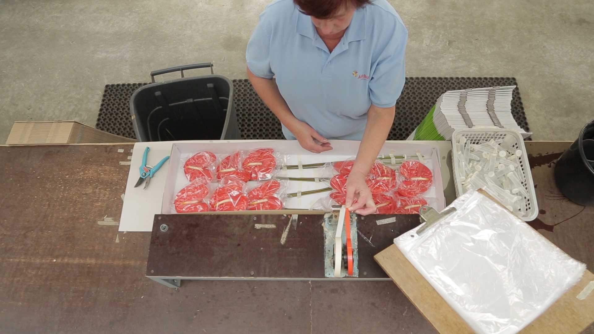 Packing Anthurium cut flowers