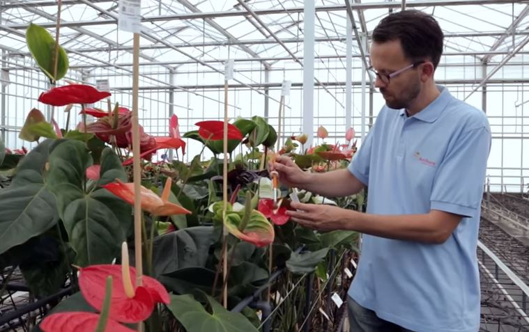 Veredeling van Anthurium snijbloemen