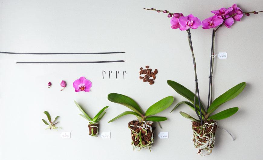 Sfeerbeeld veredeling Orchidee