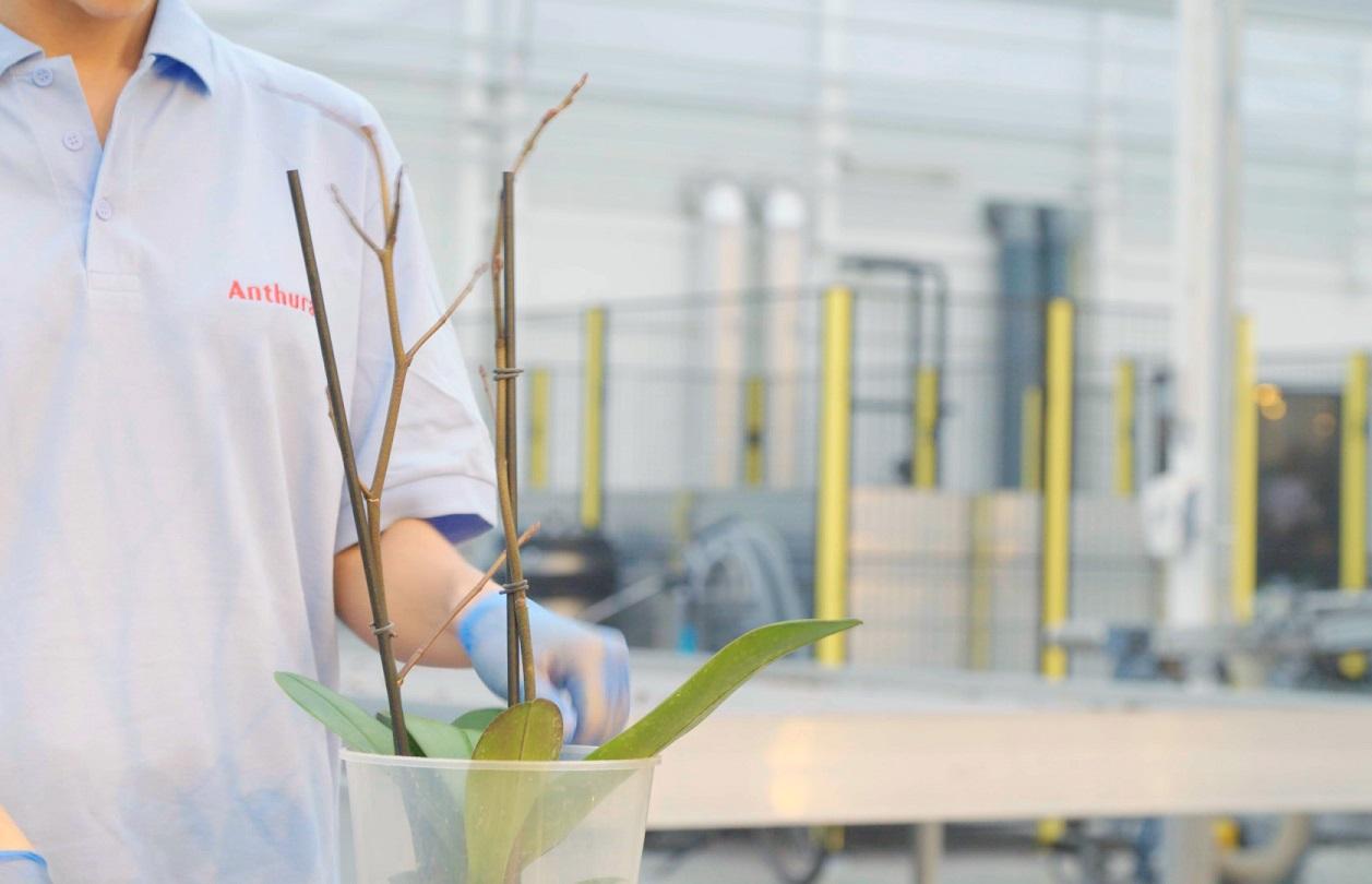 Phalaenopsis takken worden gestokt