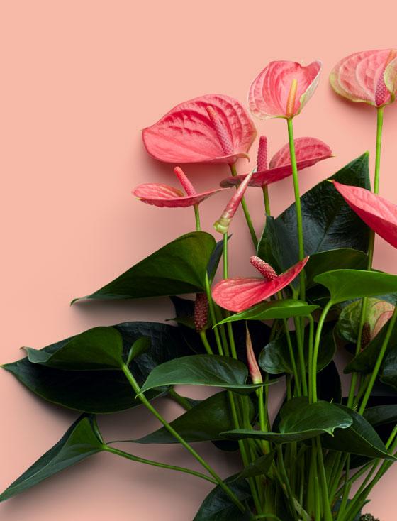 Potanthurium roze