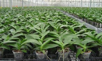 Достапни прирачници за одгледување на Орхидеи и Антуриум во потови